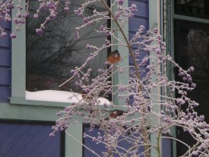 Robins on an ice covered bush with purple berries