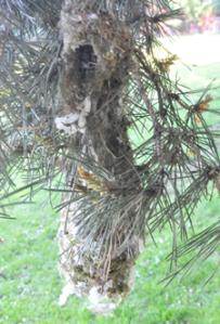 Wren Tit Nest