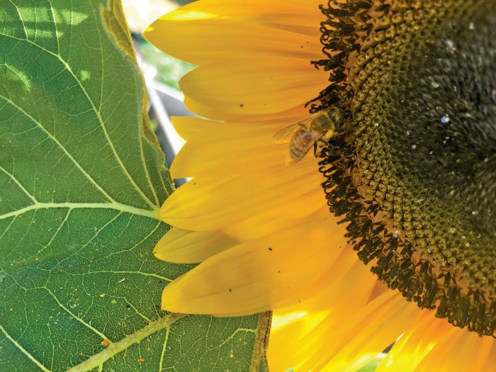 A close up image of a bee on a yellow sunflower next to a green leaf